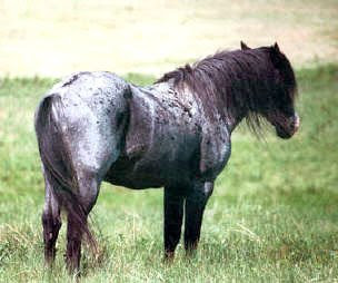 Cayuse Indian Pony