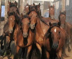 manada de mustang redirigido a zonas no ganaderas