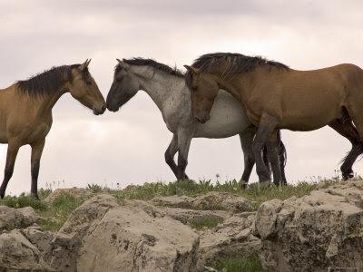 Caballos de raza Mustang