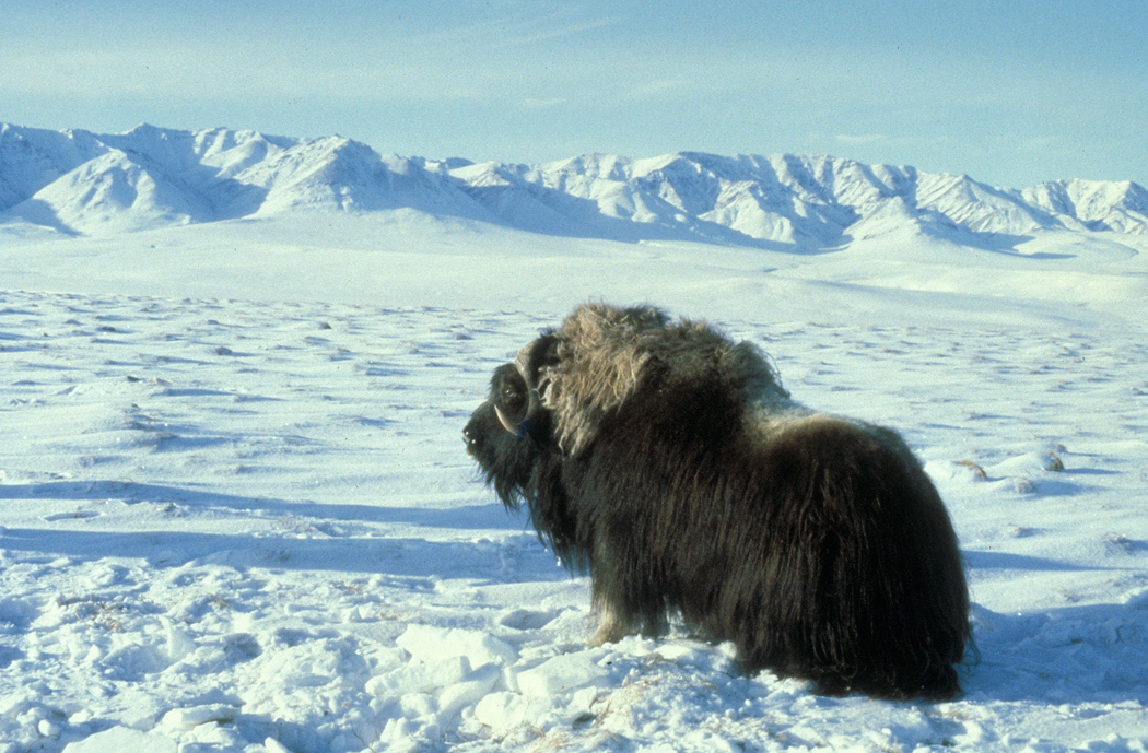 muskox_arctic_tundra1.jpg
