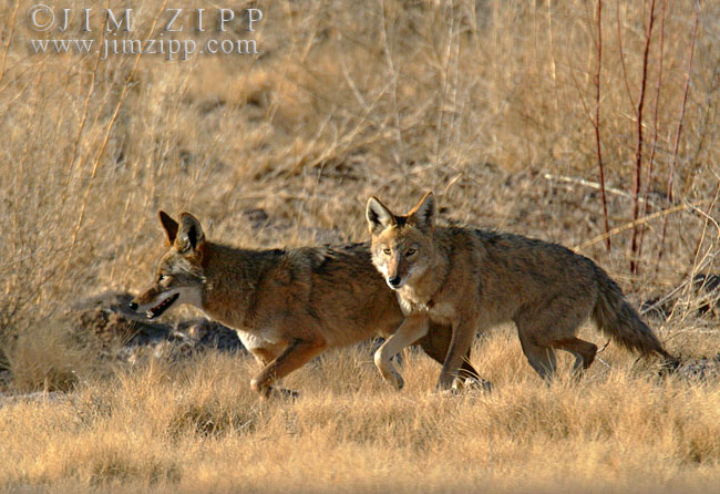 Eastern coyote vs western coyote