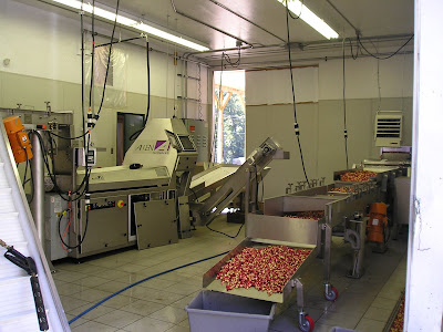 Inside the cranberry sorting plant
