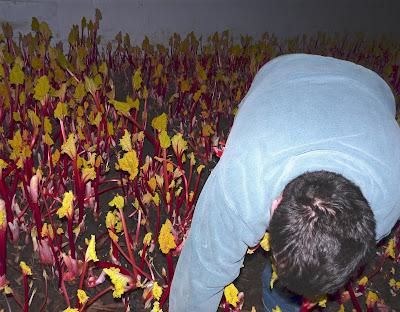 Lennox Farm Rhubarb