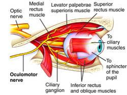levator palpebrae superioris muscle | human muscular system, Human Body