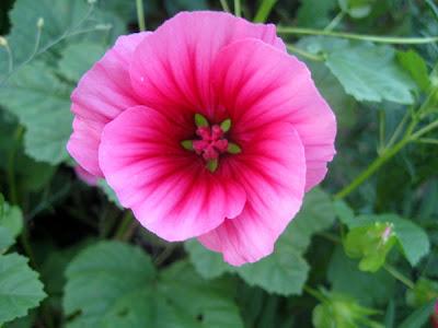 56. Gönülçelen -Inima furata - Heart Stealer - General Discussions - Comentarii - Pagina 3 Floare+roz+2