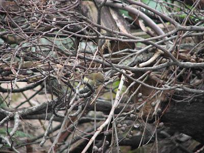 Thornbill bird in kinglake west after black saturday bushfire