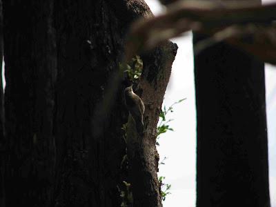 white throated tree creeper in kinglake west after black saturday bushfire