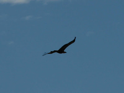 Wedgetail Eagle after Black Saturday bushfire, Birds after bushfire