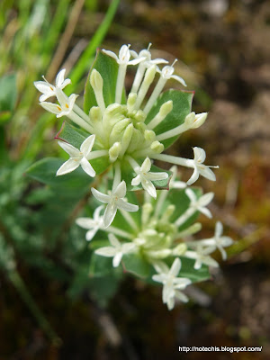 Pimelea humilis regeneration after bushfire. Whittlesea flora recovery after Black Saturday.