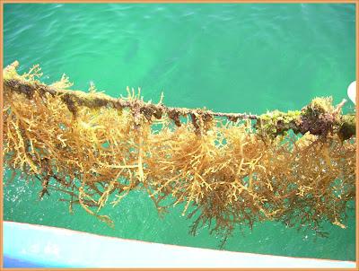 Gambar Rumpai Laut