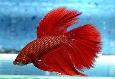 Dark red betta fish - photo#16