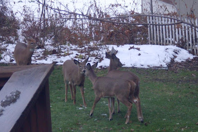 four deer frolick by our back deck