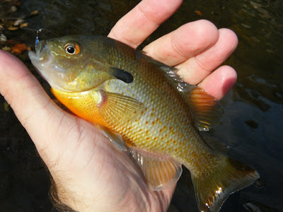Pennsylvania Sunfish caught on blue streamer fly