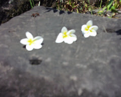 Three frangipanni flowers on a rock at Wat Phu