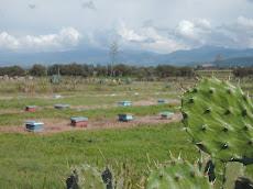 La cría de reinas es uno de los pilares clave de la apicultura de México