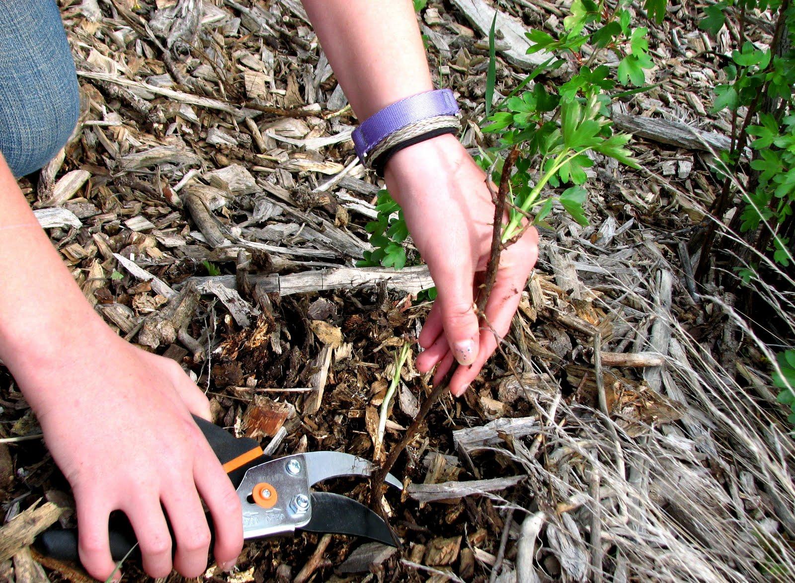 Как посадить смородину пошаговая инструкция 6