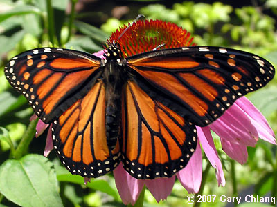 At the pupa stage of the life cycle of the monarch butterfly, the weight has