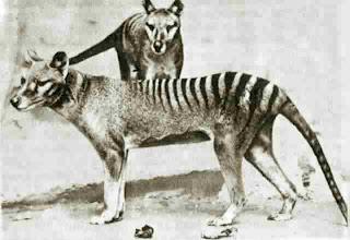 El tigre de Tasmania o lobo de Tasmania extinguido?