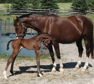 long-legged thoroughbred colt