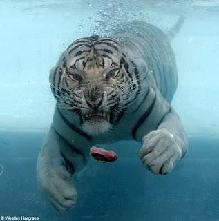 swimming white tiger 2