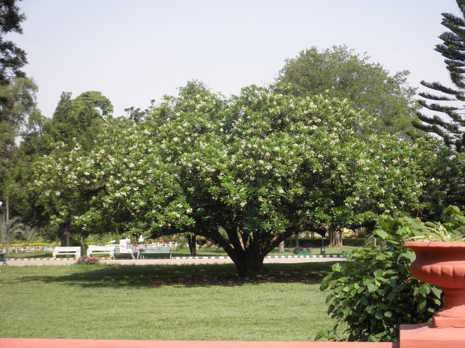 Trees Plants Amp More Sea Mango Cerbera Manghas