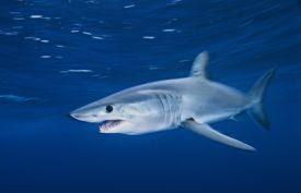 vNi: 5 Most Dangerous Sharks