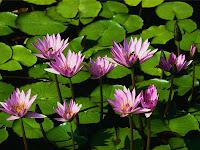 الصداقة بصفة عامة Water+lilies
