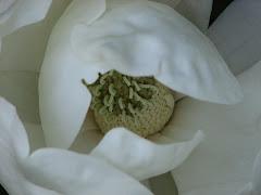 Magnolia Blossom - Memphis Botanical Garden 2007