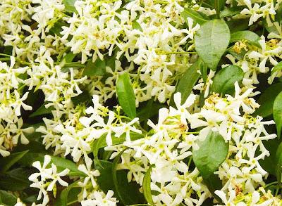 Jasmines - Gelsomini