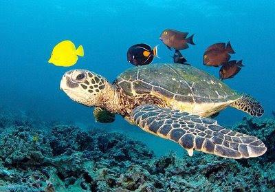 Tartaruga marina for Tartarughe di mare domestiche
