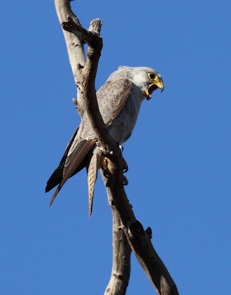 Falconiformes. sub Falconidae - sub fam Falconinae - gênero Falco - Página 2 Grey+Falcon