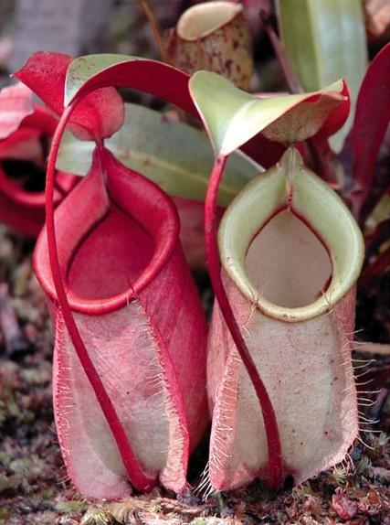 Gambar 1. Nepenthes gracilis, salah satu jenis nepenthes yang ...