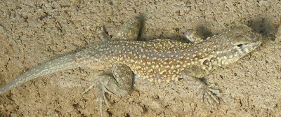 Side-blotched lizard, photo by Rosemary West © 2009