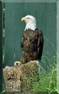 A Bald Eagle at Busch Gardens, Williamsburg