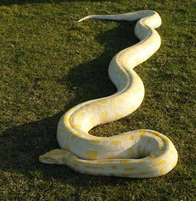 [piton-albina-2.jpg]