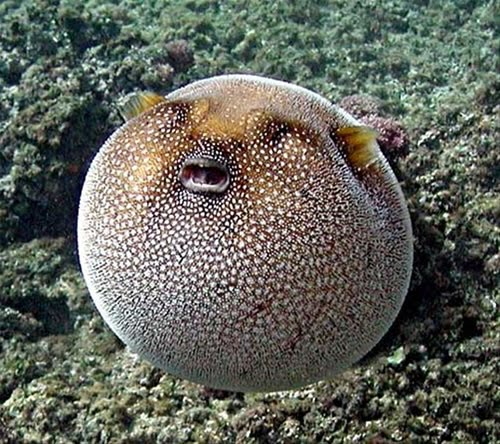 Chesterfield taxpayer alliance can we go right to charter for Puffer fish puffing