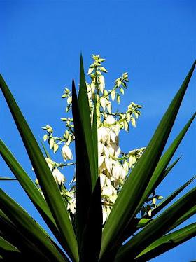 decubrieron la flor de isote i la nombraron flor nacional