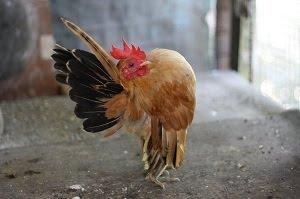 Ayam Idaman Kalbu