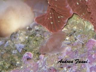 riproduzione degli actinodiscus