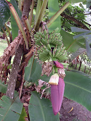 banana tree and flower