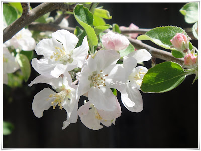 Fuji Apple Blossoms and leaves