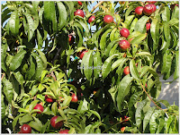 nectarine fruits on tree