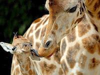 giraffa con piccolo