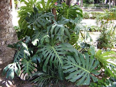 Parque de m laga mayo 2010 for Planta ornamental oreja de elefante