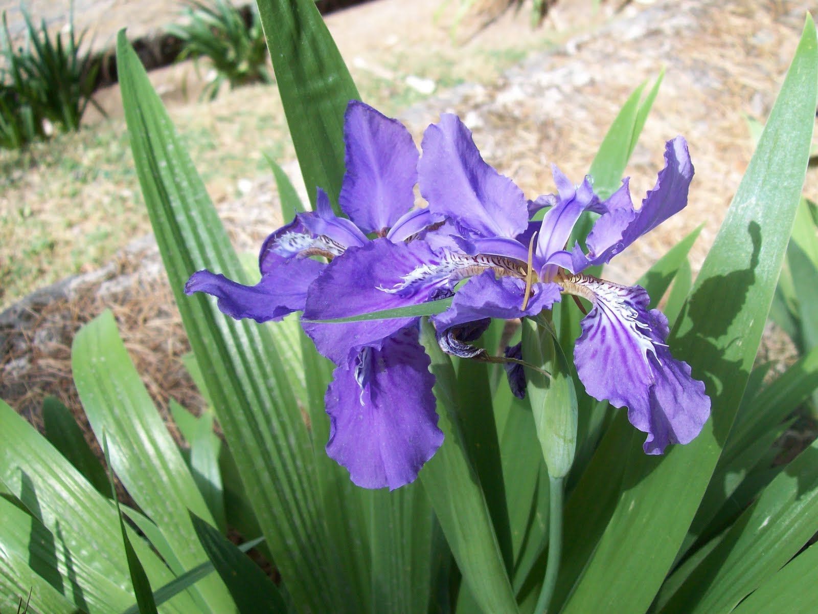 Indian flowers and herbs himalayan iris it is a sight for sore eyes to see the himlayan iris iris nepalensis cover whole mountainsides in spring the violet flower has white and yellow markings izmirmasajfo