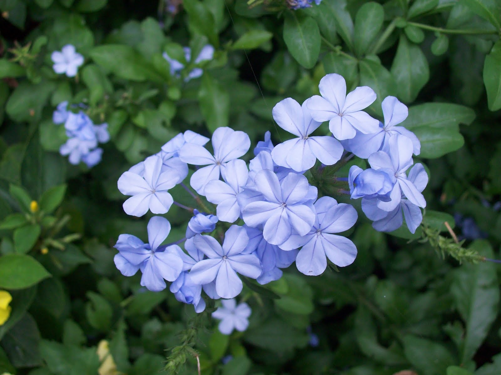 My Faithful Plumbago Is Bringing Out Its Sky Blue Flowers This A Very Easy Plant To Grow When It Has Finished Blooming I Cut Down Short