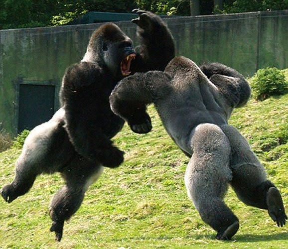 Epic Gorilla Fight