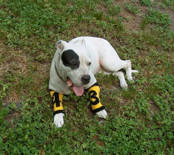 Dog Leg Warmers Knitting Pattern : hermione j. schwartz: Black-Eye Peas Polamalu Spirit Leg Warmers: FREE K...