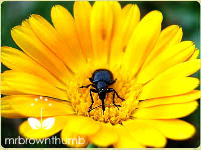 black beetle weevil on calendula