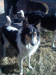 Collie en adopcion